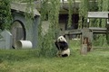 A panda plays at the Smithsonian Institution's National Zoo, Washington, D.C LCCN2011632715.tif