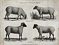 A ram and ewe of the South Down and Norfolk breeds of sheep. Wellcome V0021717.jpg