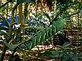 A rare and big caterpillar at Mt. Isarog National Park (Pili, Camarines Sur).jpg