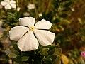 A white colored, Catharanthus Roseus flower.jpg