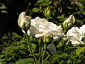 Ab plant 1260.jpg