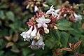 Abelia x grandiflora Kaleidoscope 1zz.jpg