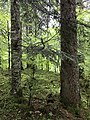 Abies alba and Picea abies in Cansiglio Forest Italy.jpg