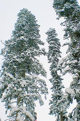 Weihnachtsbaum Samen.Nordmann Tanne Wikipedia