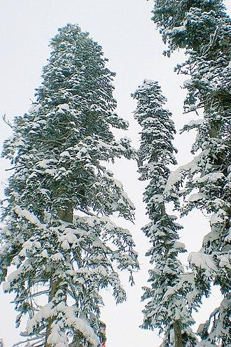 Abies nordmanniana - Nordmann firs in Dombay, Karachay-Cherkessia, Caucasus
