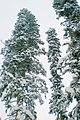 Abies nordmanniana snow.jpg