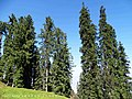 Abies pindrow India12.jpg