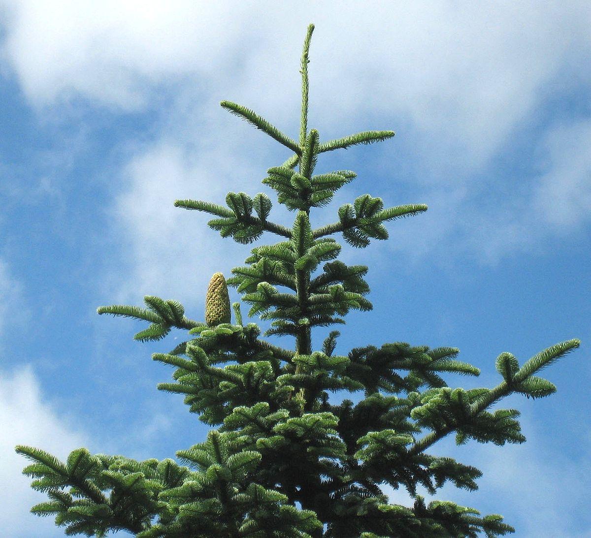 Douglas Fir Christmas Trees