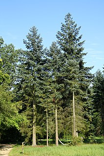 <i>Abies procera</i> species of plant