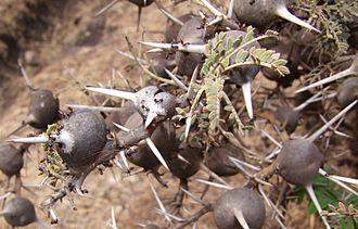 Vachellia drepanolobium - Image: Acacia drepanolobium and Crematogaster nigriceps @ Ngorongoro Aug 2009