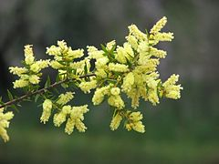 Acacia oxycedrus