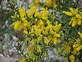 Acacia triptera.jpg