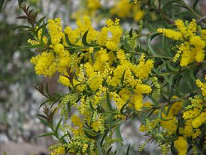 Description de l'image Acacia triptera.jpg.