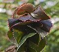 Acalypha wilkesiana, Conservatorio botánico, Fort Wayne, Indiana, Estados Unidos, 2012-11-12, DD 01.jpg
