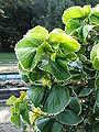 Acalypha wilkesiana 'Hoffmannii'1.jpg