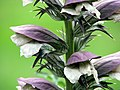 Acanthus mollis syn. Acanthus niger flower.jpg