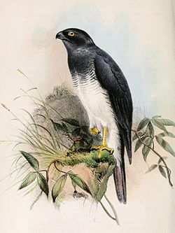 Accipiter haplochrous 1859.jpg