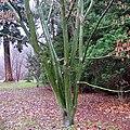 Acer capillipes multi stem tree.jpg