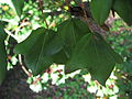 Acer monspessulanum leaves 01 by Line1.JPG