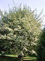 Acer pictum ssp pictum R0019757.JPG