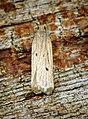 Acompsia tripunctella (28793501526).jpg