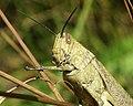 Acrididae grasshopper-1.jpg