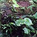 Acronia cordata = Pleurothallis cordata (Orchidaceae) (32200806192).jpg