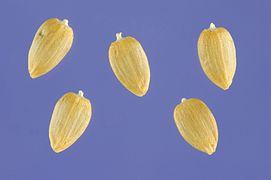 Acroptilon repens seeds.jpg
