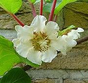 Actinidia chinensis C