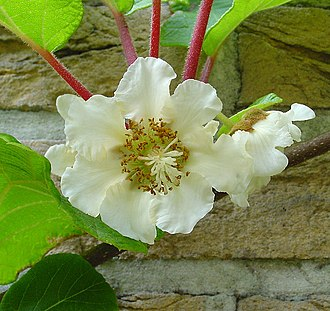 Actinidia deliciosa - Flower