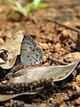 Acytolepis puspa Horsfield, 1828 – Common Hedge Blue at Aralam Wildlife Sanctuary Jan 2016 (1).jpg