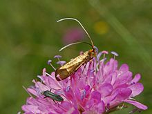 Adelidae - Nemophora metallica-1.JPG