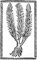 """Adonis vernalis im """"Kleinen Destillierbuch"""" des Hieronymus Brunschwig, Straßburg 1500..png"""