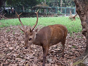 Heinrich Kuhl - Adult male Bawean deer, Axis kuhlii