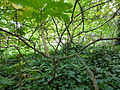 Aesculus parviflora-Jardin des plantes 01.JPG