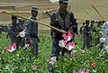 Afghan national security force, Zabul governor leads poppy eradication operations 110504-F-BP133-046.jpg