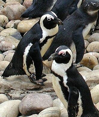 Banded penguin - Spheniscus demersus, the African penguin