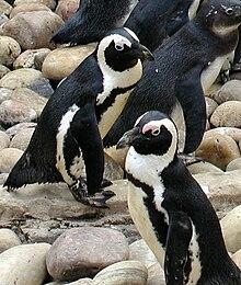 jack ass penguins