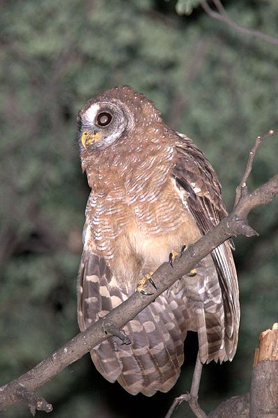 Ficheiro:African Wood Owl (Strix woodfordii) perched on branch.jpg