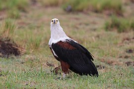 African fish eagle in Chobe National Park 02.jpg