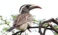 African grey hornbill, Tockus nasutus - female - at Pilanesberg National Park, Northwest Province, South Africa (16223600285).jpg