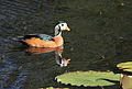 African pygmy goose, Nettapus auritus, at Muirhead Dams, Royal Macadamia Plantations, Machado, Limpopo, South Africa - male (25937550200).jpg