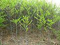 Afrocanthium gilfillanii, kreupelbos, b, Schanskop.jpg