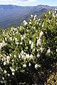 Agastachys odorata habit (BG SA) 6B69.JPG