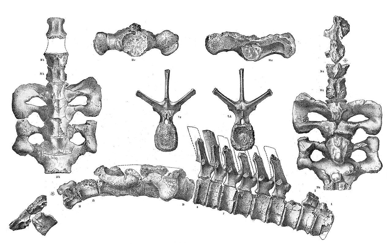 Agathaumas sylvestris.jpg