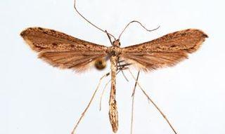 <i>Agdistis</i> (moth) Sole genus of plume moth subfamily Agdistinae