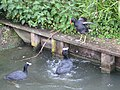 Agitated moorhen, Slimbridge Wetland Centre - geograph.org.uk - 788891.jpg
