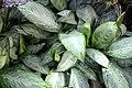 Aglaonema silverado 0zz.jpg