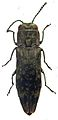 Agrilus occipitalis from the Philippines - ZooKeys-256-035-g002-19.jpeg