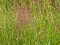 Agrostis stolonifera (3820197869).jpg